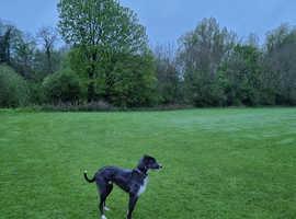 Deerhound x 20 months old