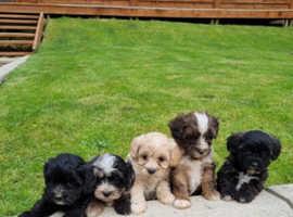 Gorgeous Maltipoo puppies ready now