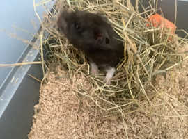 Syrian Hamster Black & White Male + cage & accessories