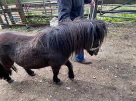 Registered Shetland colt