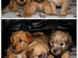 2 LEFT! Fab Jackapoos Available! Jack Russle X Toy Poodle