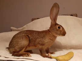 4 month old doe Belgian hare cross giant