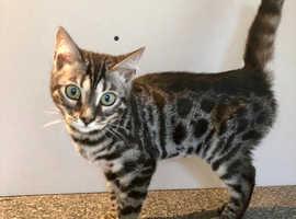READY NOW stunning Pedigree TICA reg Bengal kittens