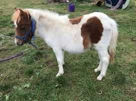 Chestnut and white midi Shetland filly foal