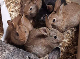Belgian hare cross  agouti rabbit babies