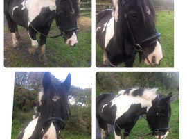 14hh 13 years old (Maggie May)