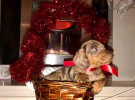 Miniature dachshund puppies chocolate dapple smooth coat