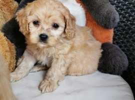 We have an amazing litter of cavapoos