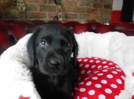 Black Labrador Puppies Ready Now.