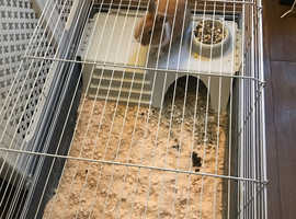 Beautiful female rabbit with indoor cage