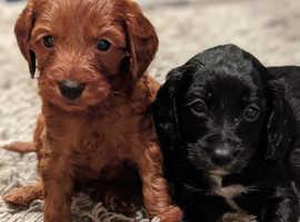 Cavacockapoo puppies