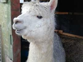 5 Gorgeous female Alpacas for pets