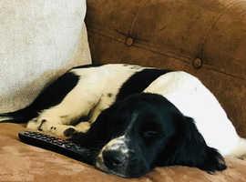 7 month Springer spaniel pup