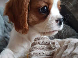 Cavalier King Charles boy and girl puppies for sale