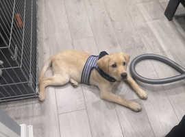 4 months old labrador