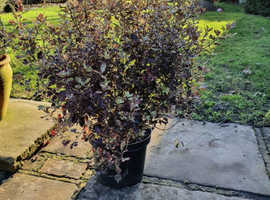 Pittosporum purpureum and Magnolia stellata shrubs