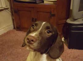 Springer cross pup