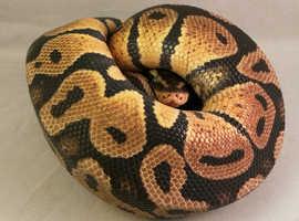 Pastel Enchi Royal Python with full set up