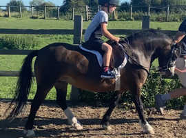 Registered section A lead rein pony