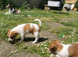 Jack Russell x chihuahua puppies for sale