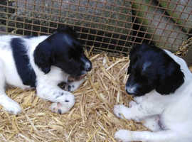 Pure bred Springer spaniel pups very good breeding