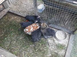 Young bantum hens 14 weeks