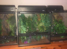 2 x male crested gecko