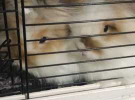 X2 LIONHEAD BUNNIES with big hutch and holder included