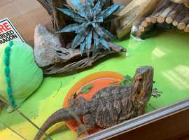 Lovely Female Bearded Dragon - Meara
