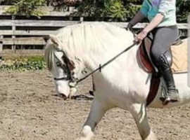 13.3hh traditional cob mare