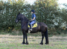 Friesian for full loan