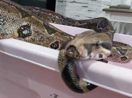 Male boa constrictor bci