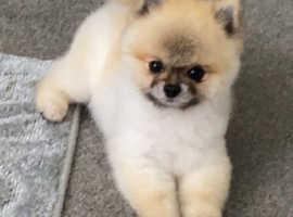 Stud dog