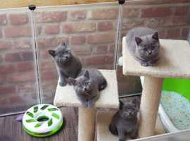 Stunning GCCF Reg British Blue Kittens