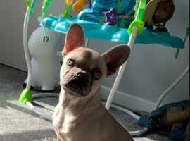 8 month french bulldog