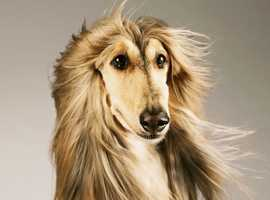 Afghan Hound ready to rehome