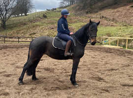 Cob x Allround fun mare