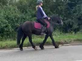 Attractive 13.1hh black cob mare 9yrs
