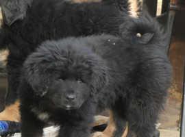 Tibetan mastiff 1 girl available ready to go