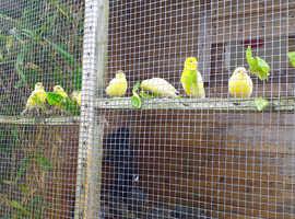 Fife canaries 2020.
