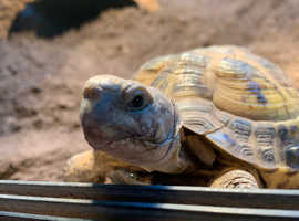 Male horsefield tortoise with Vivarium needs a forever home