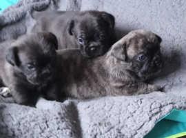 Frenchie x pug puppys