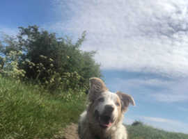 NOT FOR SALE **STUD** Light red merle border collie
