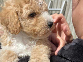 Wonderful Toy Poodles For Sale