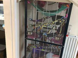 7 female rats plus setup