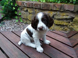 Spaniel pup wanted!!!