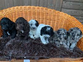 Tricolour cockapoo puppies