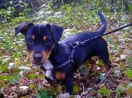 Jack Russell For STUD (Male)
