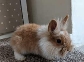 Gorgeous male fluffy dwarf lion head bunny rabbit