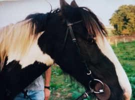 Coloured cob mare